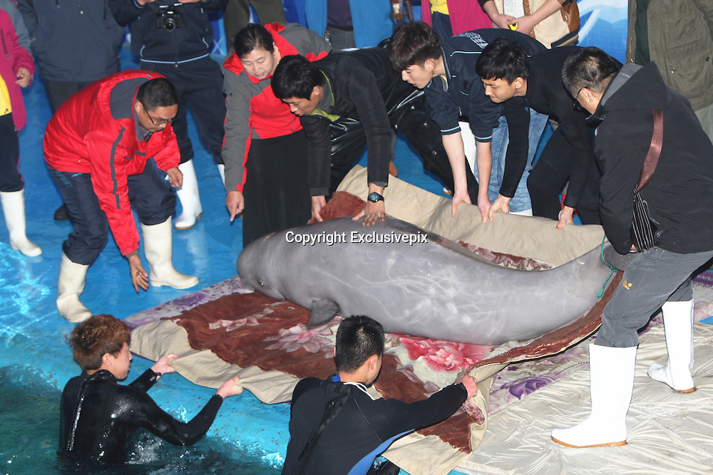 YANTAI, CHINA - OCTOBER 30: (CHINA OUT) <br /> <br /> Ocean Aquarium Of Penglai Introduces 10 Russian White Whales<br /> <br /> Ten Russian white whale calfs get transferred to Ocean Aquarium of Penglai on October 30, 2014 in Yantai, Shandong province of China. Ocean Aquarium Of Penglai introduced 10 white whales calfs from Russia, which contains 3 male and 7 female. <br /> &copy;Exclusivepix