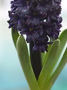 Hyacinthus 'Baby Blue'