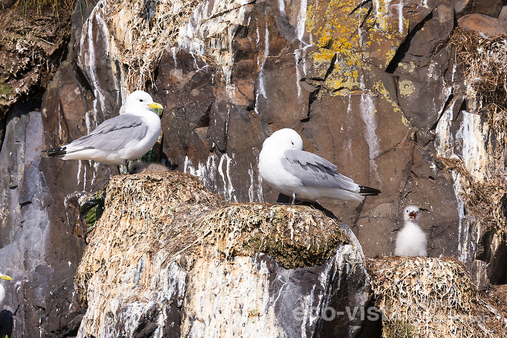 A single black-legged kittiwake (Rissa tridactyla) chick stands on the nest alone, panting in the warmth of the sun. The nests around it are empty or have just a single chick attended by a single adult. To be left at this early stage is not a good sign, and perhaps an indicator that food is limited this breeding season, with both adults being at sea looking for food. Flatey, West Fjords, Iceland. July.