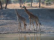 Massai Giraffes (Giraffa camelopardalis) at a watering hole in Tarangire National Park, Tanzania, Africa