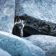 A portrait of black phase red fox kit at its den site in Mount Rainier National Park Washington.