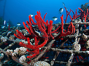 Fish swim near Magnificent Fire Sponge, (Latrunculia magnifica) growing on the protective netting. Photographed in the military naval base in Eilat, Israel