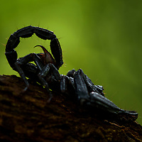A giant Asian Forest Scorpion (Heterometrus longimanus) from the lowland forest of Mulu National Park in northwestern Borneo.