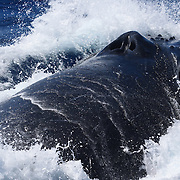 One of several male whales in a heat run, lunging while coming up for a breath of air. Note that the shape of the whale's nostrils resemble the form of a human nose. Humpback whales participating in heat runs sometimes lunge like this during the frenzy of activity. In these instances, the whales usually exhale with force, producing a strong snorting or grunting sound. Sometimes, the exhaling sound resembles a prolonged, low-pitched growl. This type of display is particularly impressive when whales lunge on top of one another, perhaps challenging one another for dominance.