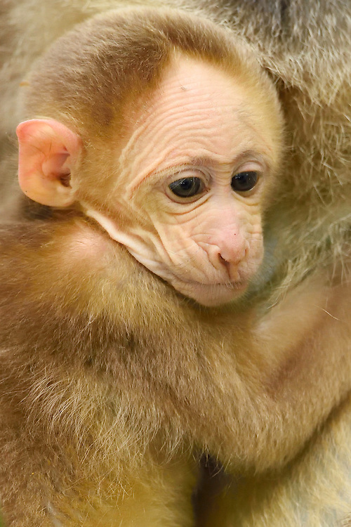 Tibetan macaque, or Chinese stump-tailed macaque, Macaca thibetana, Tangjiahe National Nature Reserve, NNR, Qingchuan County, Sichuan province, China