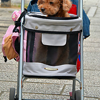 Puppy in Baby Stroller in Nagasaki, Japan<br />