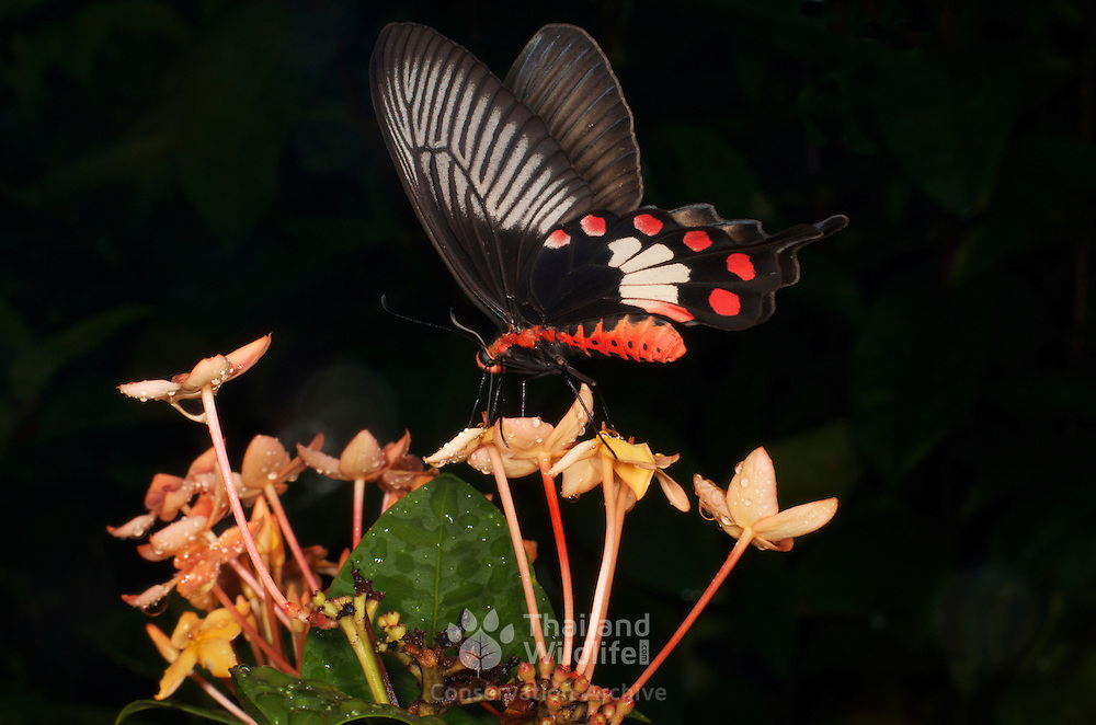 The Common Rose (Atrophaneura (Pachliopta) aristolochiae) is a swallowtail butterfly belonging to the Pachliopta subgenus, the Roses, of the genus Atrophaneura or Red-bodied Swallowtails.