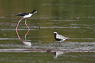 Black-bellied Plover photos