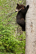 USA, Vince Shute Wildlife Sanctuary (MN).Black bear (Ursus americanus) on a tree