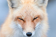 Red Fox, Vulpes vulpes, Island Beach State Park, New Jersey