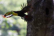 Keel-billed Toucan (Ramphastos sulfuratus) in flight, Honduras