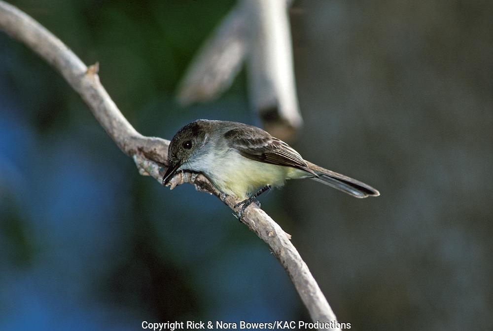Sad Flycatcher <br /> Myiarchus barbirostris<br /> Montego Bay, Jamaica<br /> April       Adult      Tyrannidae
