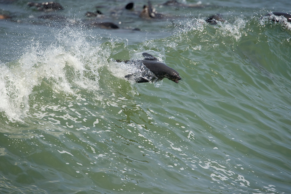 Africa, Namibia, Cape Cross Seal Reserve, Southern Fur Seal (Arctocephalus pusillus) surfing in breaking waves along Atlantic coast