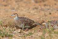 A grey francolin digs in the ground looking for food, Tamil Nadu, India.