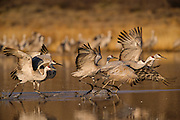 Sandhill cranes about to take flight, Bosque del Apache NWR