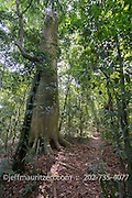 A cuipo tree on Barro Colarado Island located on Gatun Lack in Panama.