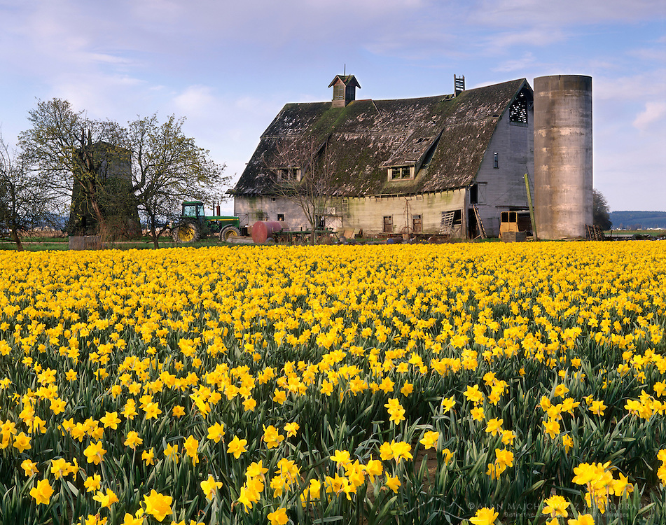 Barn and daffodils, Skagit valley Washington USA