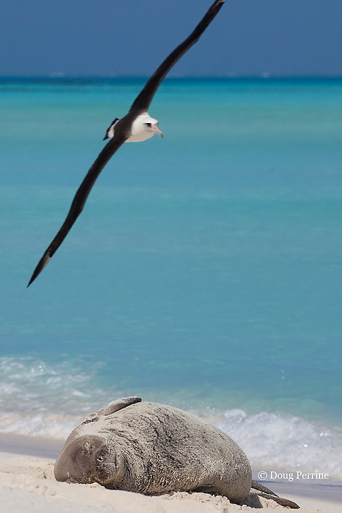Laysan Albatross, Phoebastria immutabilis, flies over a sleeping Hawaiian monk seal, Monachus schauinslandi, Critically Endangered endemic species, Sand Island, Midway, Atoll, Midway Atoll National Wildlife Refuge, Papahanaumokuakea Marine National Monument, Northwest Hawaiian Islands ( Central North Pacific Ocean )