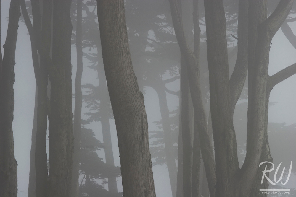Monterey Pine Trees in Fog, San Francisco, California