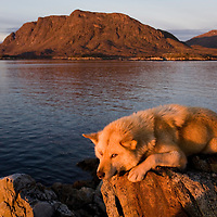 Greenland, Sisimiut (Holsteinsborg), Sled dogs spend summer on uninhabited island in fjords north of Sisimiut