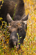 A young bull moose eats the few remaining green leaves as fall approaches