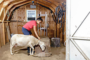 Peach Bottom, Pennsylvania - May 17, 2017: Mika McDougall readies Grandma the sheep to be milked in her milking shed Wednesday May 17, 2017.<br /> <br /> <br /> Chris McDougall and his rescue donkey Sherman regularly run with a group of two other runners and two donkeys among the Amish farms in rural Pennsylvania.<br /> <br /> CREDIT: Matt Roth for The New York Times<br /> Assignment ID: 30206505A