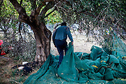 Manos harvesting Olives on the family property in Palaiochora which is a small town in Chania regional unit on the island of Crete, Greece. It is located 77 km south of Chania, on the southwest coast of Crete and occupies a small peninsula 400m wide and 700m long. The town is set along 11 km of coastline bordering the Libyan Sea. Its population was 1,675 in the 2011 census. Palaiochora's economy is based on tourism and agriculture (mainly tomatoes cultivated in glass houses and also olive oil).
