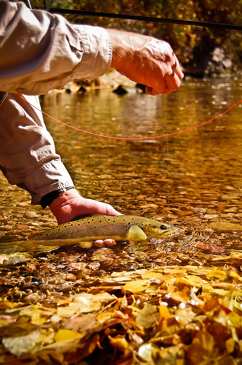 A fly angler prepares to release a brown trout into a small Utah river as the reflections of Fall leaves shine through the water.