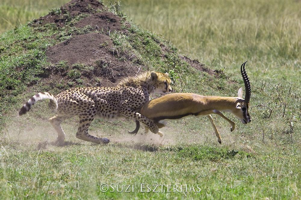 Cheetah<br /> Acinonyx jubatus<br /> Male bringing down injured male Thomson's gazelle<br /> Masai Mara Conservancy, Kenya