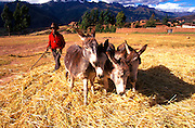PERU, HIGHLANDS donkey team threshing barley