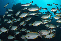 Schooling Rabbitfish<br /> <br /> Shot in Indonesia