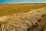 2 Row barley (variety Stratus)<br /> Fairlight<br /> Saskatchewan<br /> Canada