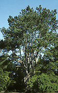 Crimean Pine Pinus nigra var. carmanica (Pinaceae) HEIGHT to 30m. Distinguished by strong bole that divides into several vertical stems, growing upright close to each other. Native to Crimea and Asia Minor. Planted here in parks and gardens.