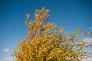 2017 October 16 - Aspen tree in the fall on a sunny breezy day against a blue sky, Seattle, WA, USA. By Richard Walker