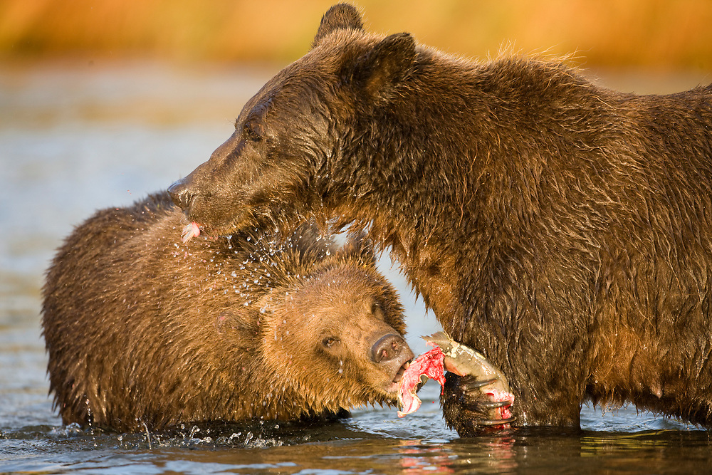 USA, Alaska, Katmai National Park, Kinak Bay, Brown Bear (Ursus arctos) sow and second-year cubs eating spawning salmon in river on autumn morning