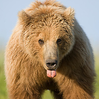 USA, Alaska, Katmai National Park, Brown Bear (Ursus arctos) sticking out tongue while standing in meadow along Hallo Bay