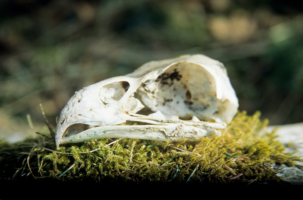 Alaska. Glacier Bay NP. The skull of a bald eagle  rests on a bed of moss.