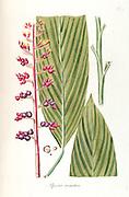 Hand painted botanical study of a Renealmia alpinia (Alpinia aromatica) (flower and leaf anatomy from Fragmenta Botanica by Nikolaus Joseph Freiherr von Jacquin or Baron Nikolaus von Jacquin (printed in Vienna in 1809)