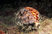 tiger cowrie, Cypraea tigris, Garove Island, Witu Islands, Papua New Guinea ( Bismarck Sea )