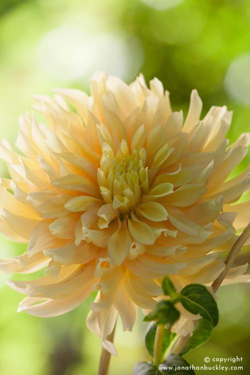 Dahlia 'Ruffle Yellow'