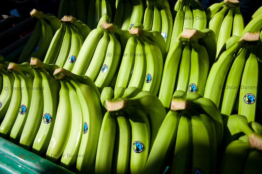 Photograph taken in Sullana, Piura in Peru, at the banana fields of CEPIBO (Central Piurana de Asociaciones de Pequeños Productores de Banano Orgánico)