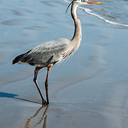 Great Blue Heron standing on the beach in Port Aransas, Texas.