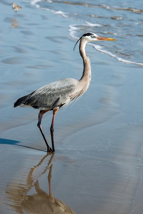 Great Blue Heron standing on the beach in Port Aransas, Texas.