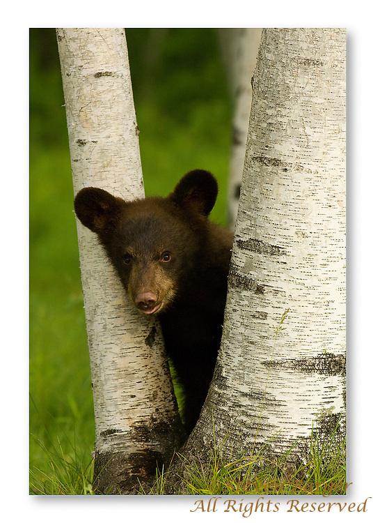 Curious black bear cub.