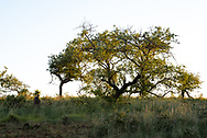 A solitary tree in the African bush stands out on the landscape