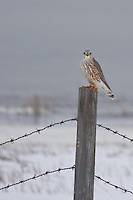 Although Merlin's are considered to be year round residents of the Calgary area (just barely), I haven't seen one all winter.  I was very excited when I saw the distinct shape of the bird as it flew by, and then when it actually landed on a nearby post I was ecstatic!...<br /> <br /> &copy;2009, Sean Phillips.http://www.Sean-Phillips.com