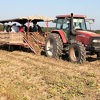 (Floyd Ingram / Buy at photos.chickasawjournal.com)<br /> Jan Cook pulls a potato digger manned by potato sorter across a Cook Farms field east of Vardaman Thursday morning. Cook said the harvest is fully underway but is a little late this season.