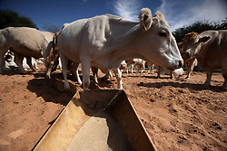 NAMIBIA GROOTFONTEIN 2MAY14 - Cattle on the Omega farm near Grootfontein, Namibia.<br /> <br /> The farm holds about 700 hear of cattle, mostly Brahman-Charolais cross breeds. <br /> <br /> <br /> <br /> jre/Photo by Jiri Rezac<br /> <br /> <br /> <br /> © Jiri Rezac 2014