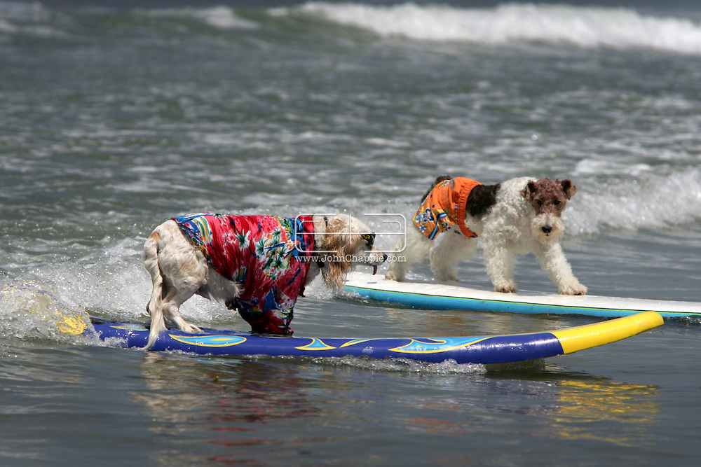 28th June 2008, Imperial Beach, California.  A different breed of surfer took to the waves at America's largest surfing competition for dogs, the 3rd Annual Loews Coronado Bay Resort Surf Dog Competition. About 60 brave four-legged competitors were seen 'hanging 20' and doggy paddling. PHOTO © JOHN CHAPPLE / REBEL IMAGES.tel: +1-310-570-9100