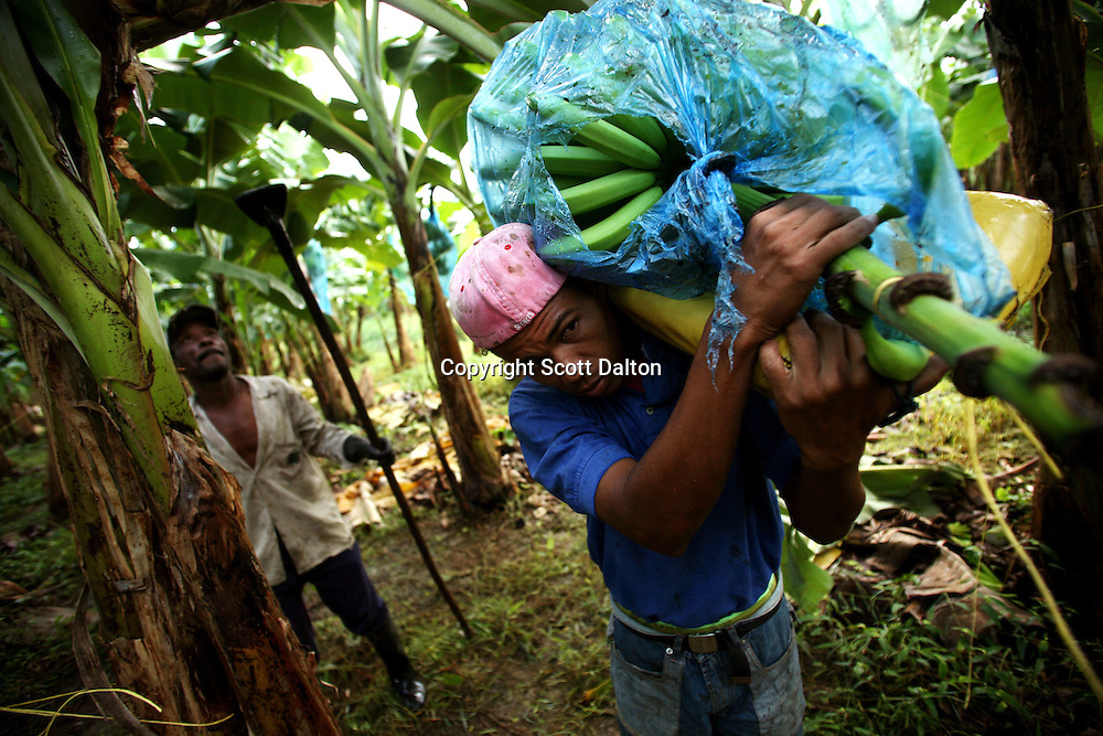 A worker carries a freshly cut stem of bananas at a Banacol plantation in Apartado on July 11, 2007. Colombia?s banana region has long a stronghold for illegal armed groups who apparently funded their wars by taxing the banana industry. American banana executives of the Cincinnati-based fruit giant Chiquita have acknowledged making monthly protection payments for six years to illegal groups that killed thousands of people. (Photo/Scott Dalton)